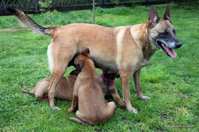 Nynke en puppy's - Willem Croese