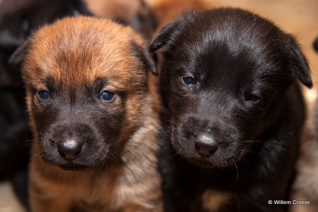 160424_01_640_wcr_Hilberink_Dogs_Puppies